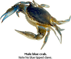 Male_blueclaws