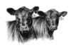 Two_black_angus_heifers_1